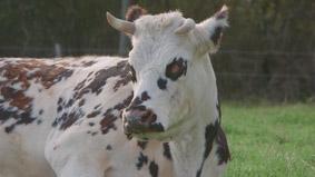 Le veau, la vache et le territoire_1